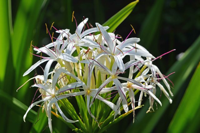 Crinum species, possibly asiatica. River Lily. Photo: David Clode.