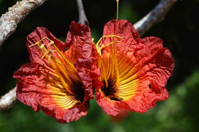 Fernandoa abbreviate Bidgood tree from tropical Africa. Cairns Botanic gardens. Photo: David Clode.