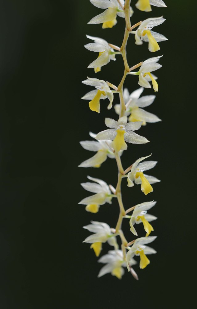 A dainty Dendrobium form the Philippines. Cairns Botanic Gardens Conservatory. Photo: David Clode.