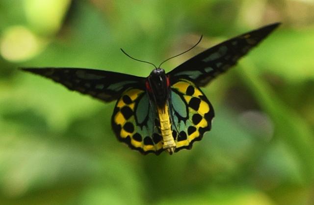 Male Birdwing in flight. Photo: David Clode.