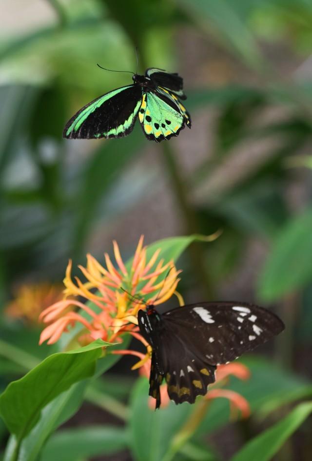 male Birdwing attends female. Photo: David Clode. Cairns Botanic Gardens conservatory.