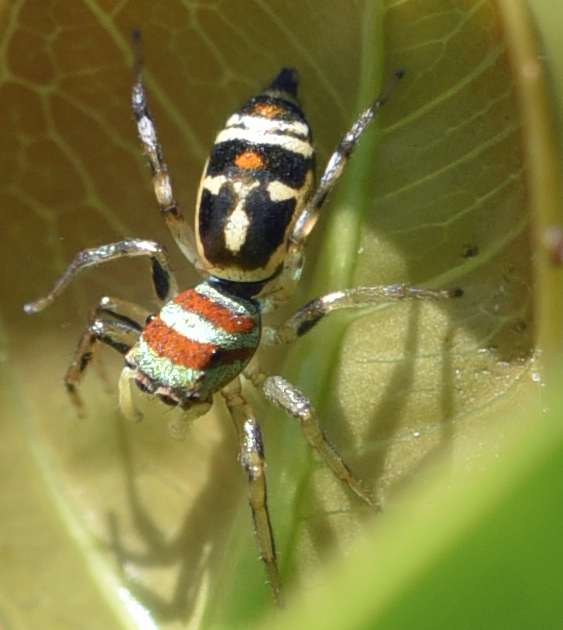 Peacock jumping spider. Photo: David Clode. Edge Hill suburb, Cairns, on Ficus 'Green Island'.
