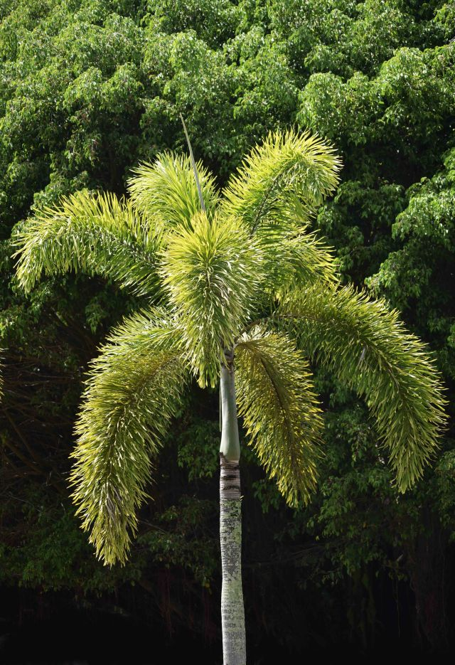 Foxtail palm Wodyetia bifurcate. Photo: David Clode.