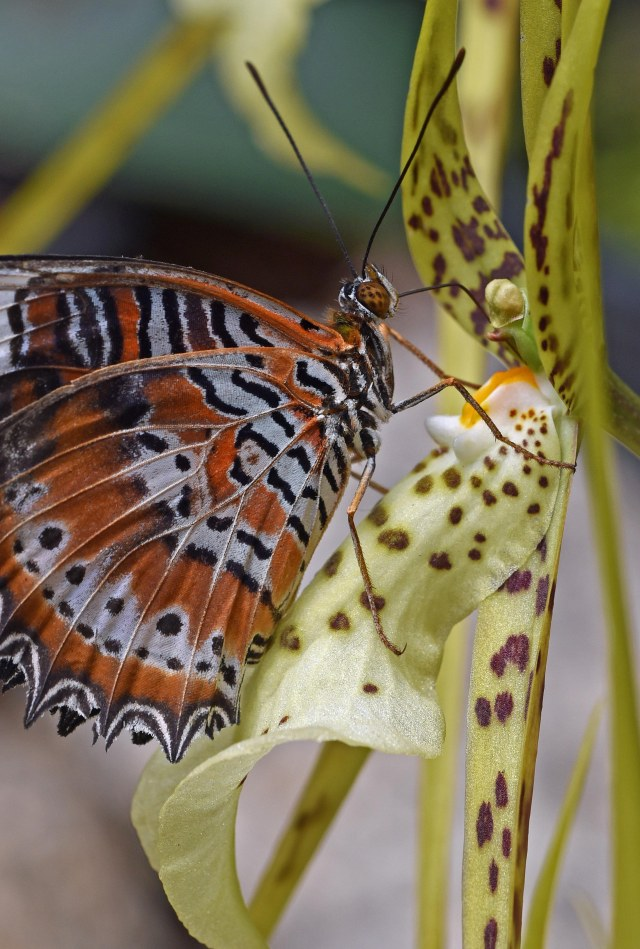 An orange lacewing visits a Brassia orchid (Brassia datacosa = B. verrucosa x B. cauda). Photo: David Clode.
