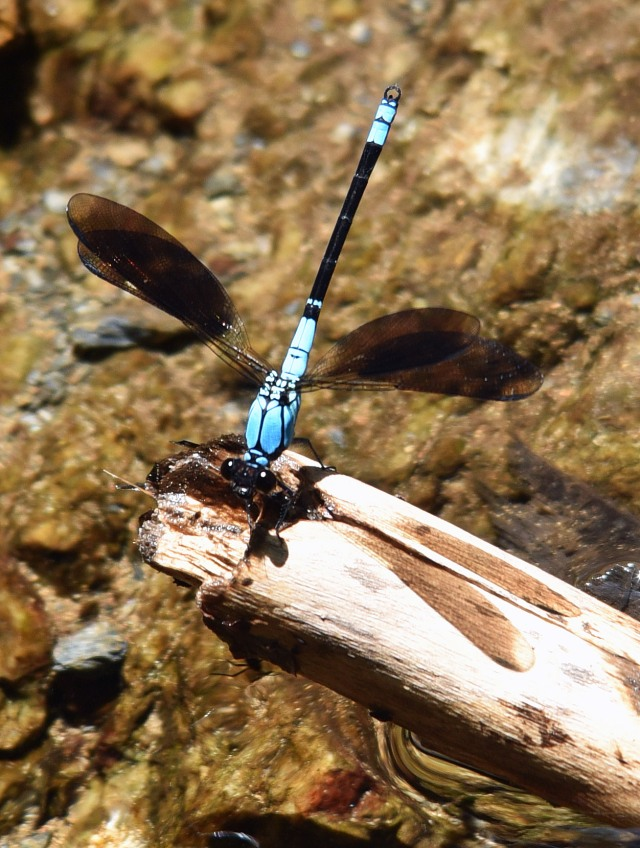 Tropical Rockmaster. Crystal Cascades, cairns.. Photo: David Clode.