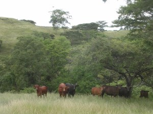 Bali cattle eat grass and the leaves of trees and shrubs. Timor Leste. Photo: Colin Trainor, commons.wikimedia.org.
