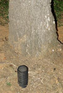 A corrugated plastic pipe with holes in it has been placed in the soil when the tree was palnted. This helps in the early stages, but this photo the roots would now be out past the canopy, so the pipe is of little use.