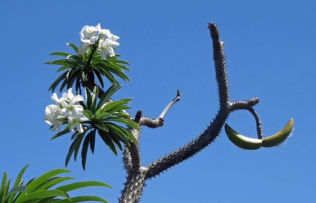 Pachypodium sp. Seed pods on right. Photo: David Clode.