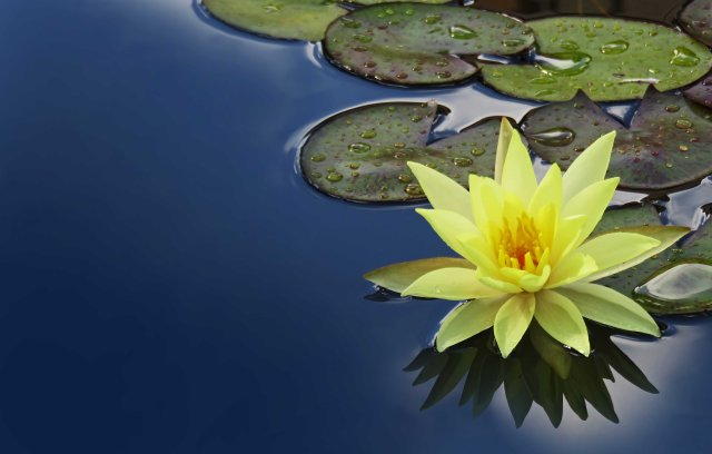 """Still Waters"". Water lily photo by David Clode."