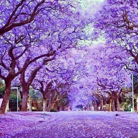 Jacarandas flowering in Adelaide Australia. Photo: Julie-Dangerfield.