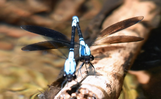 Tropical Rockmaster damselflies. Crystal Cascades, Cairns. Photo: David Clode.