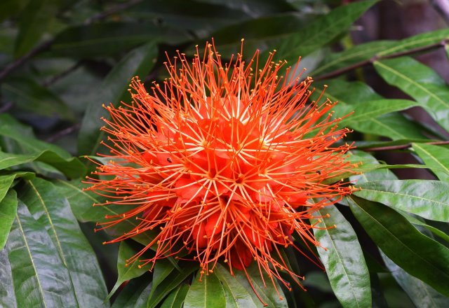 Brownea macrophylla. Cairns Botanic gardens. Photo: David Clode.