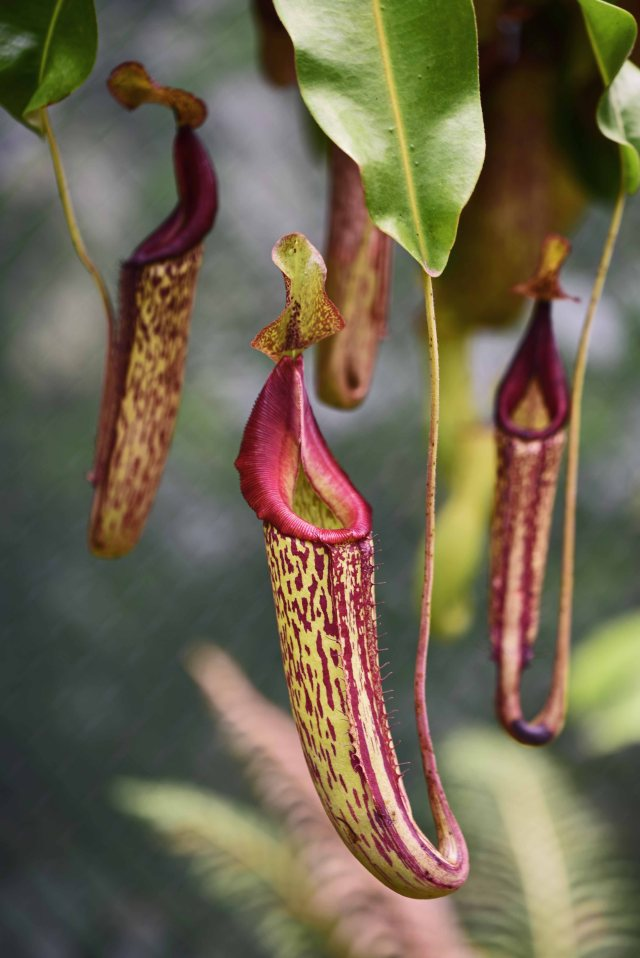 Nor flowers of course, but insect traps. Pitcher plant Nepenthes sp. Photo: David Clode.