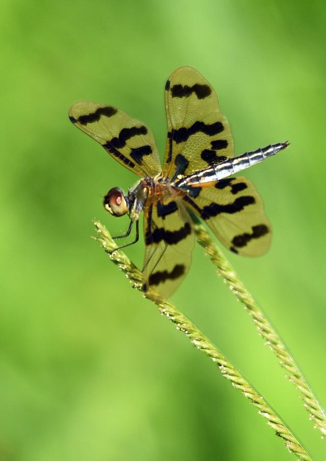 Graphic Flutterer, Cattana. Photo: David Clode.