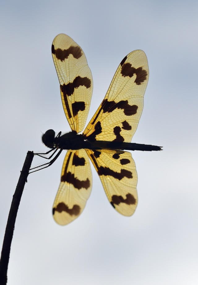 Rhyothemis graphiptera dragonfly photographed from underneath. Cattana. Photo: David Clode.