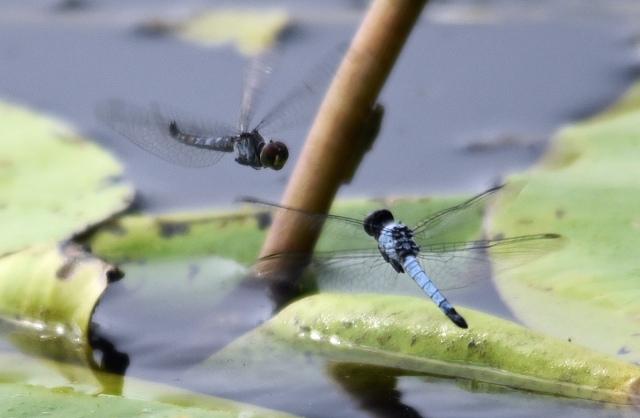 """Dragonfly standoff"". cattana wetlands. Photo: David Clode."