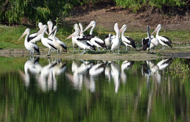 Pelicans, Kingfisher lake, Cattana Wetlands. Photo: David Clode.