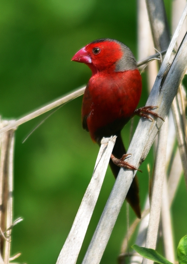 Crimson Finch. Half Moon Bay golf course. Photo: David Clode.