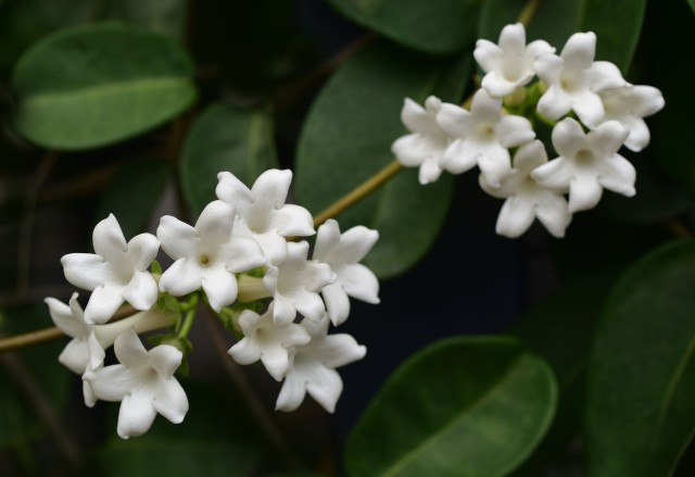 Stephanotis floribunda. Photo: David Clode.