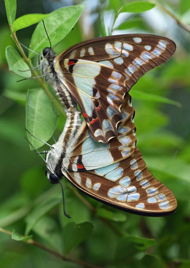 Mating Pale Green Triangle butterflies Graphium euryplus. Wild, Limberlost nursery, Cairns. Photo: David Clode.