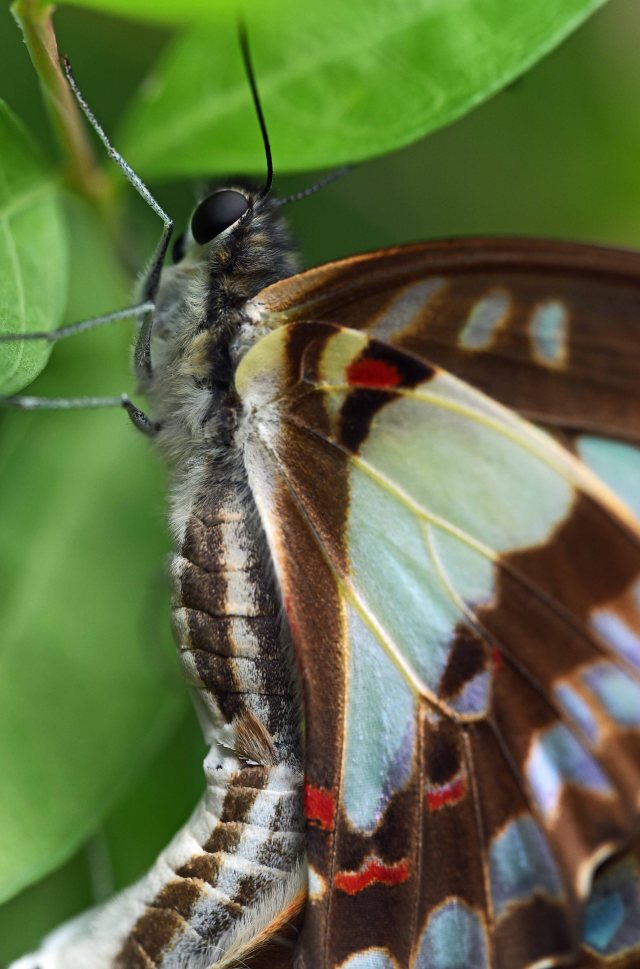 Close up of a mating Pale green Triangle butterfly. Photo: David Clode