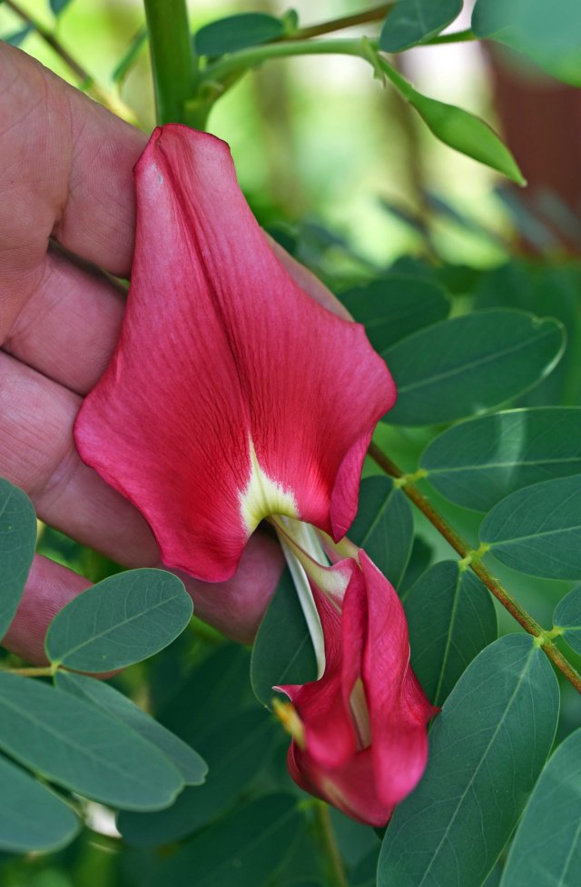 Sesbania grandiflora - the normally white flowers are edible. Trees with pink flowers are apparently better to eat. Photo: David Clode.