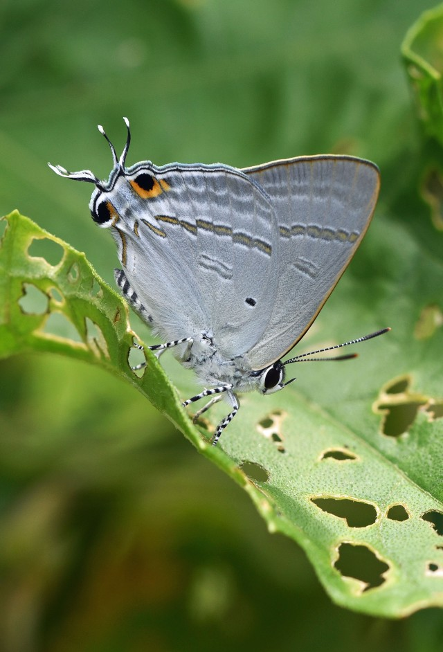 Common Tit Hypolycaena phorbas. Note the tail appendages which the butterfly moves as a decoy to fool predators - unlike this photo, they are often not intact. Wild, Enmore street cairns. Photo: David Clode.