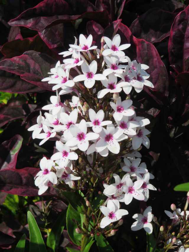Tropical flower, Cairns.