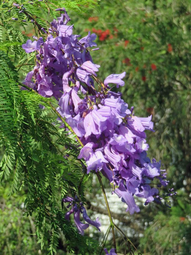 Jacaranda - native to South America but popular elsewhere with two well known examples being Pretoria in South Africa and Grafton in New South Wales Australia.