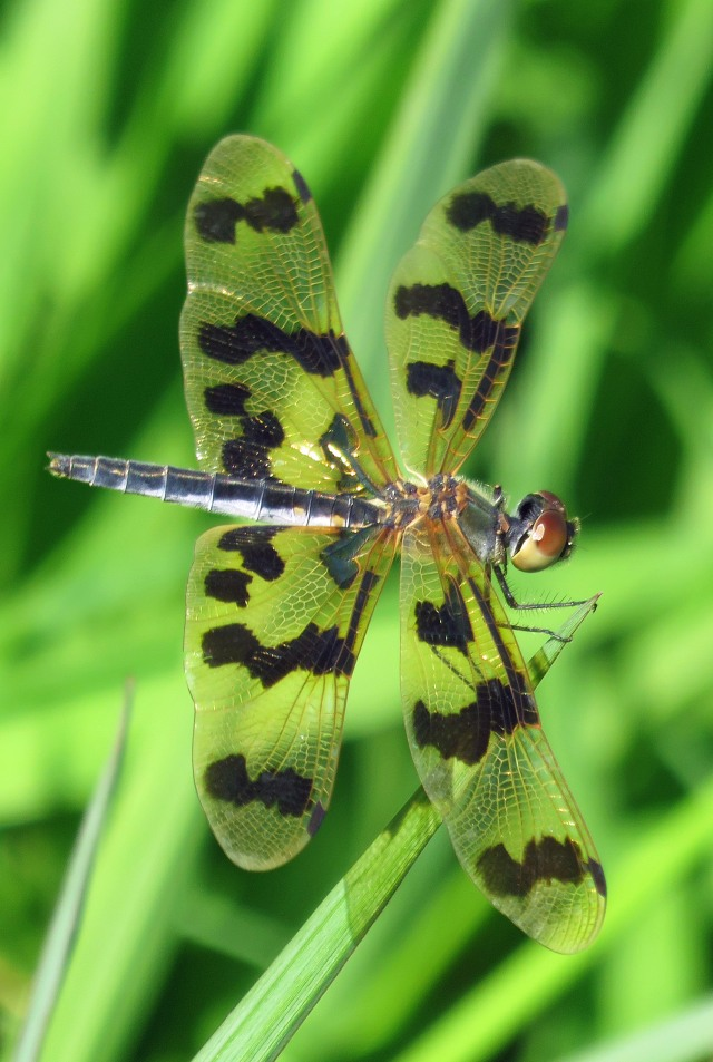 Rhyothemis graphiptera Graphic Flutterer. Cattana . Photo: David Clode.