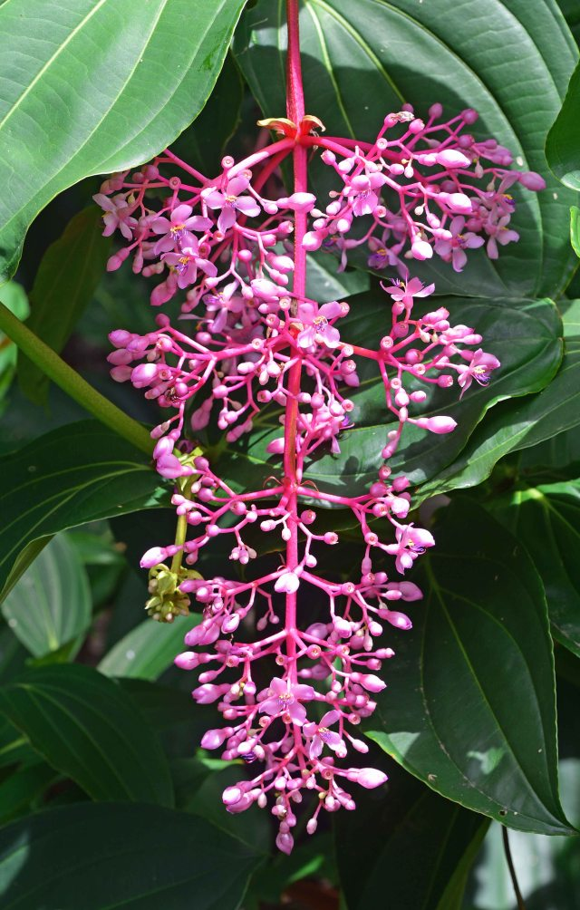 Medinilla flower. Cairns Botanic Gardens. Photo: David Clode.