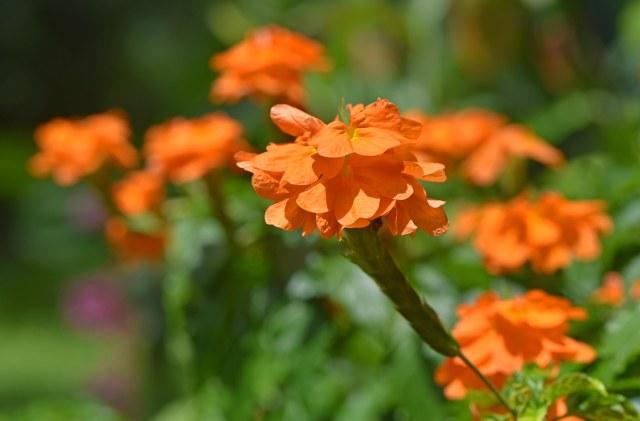 Crossandra infundibuliformis. Cairns Botanic Gardens. Photo: David Clode.