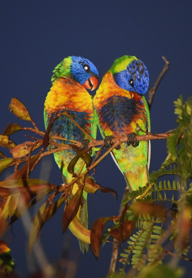 A pair of Rainbow Lorikeets settle in for the night. Cairns. Photo: David Clode.