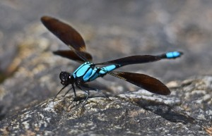 Tropical Rockmaster damselfly (male). Photo: David Clode.