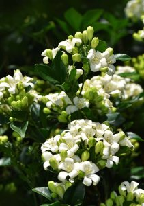 Murraya paniculata. Photo: David Clode.