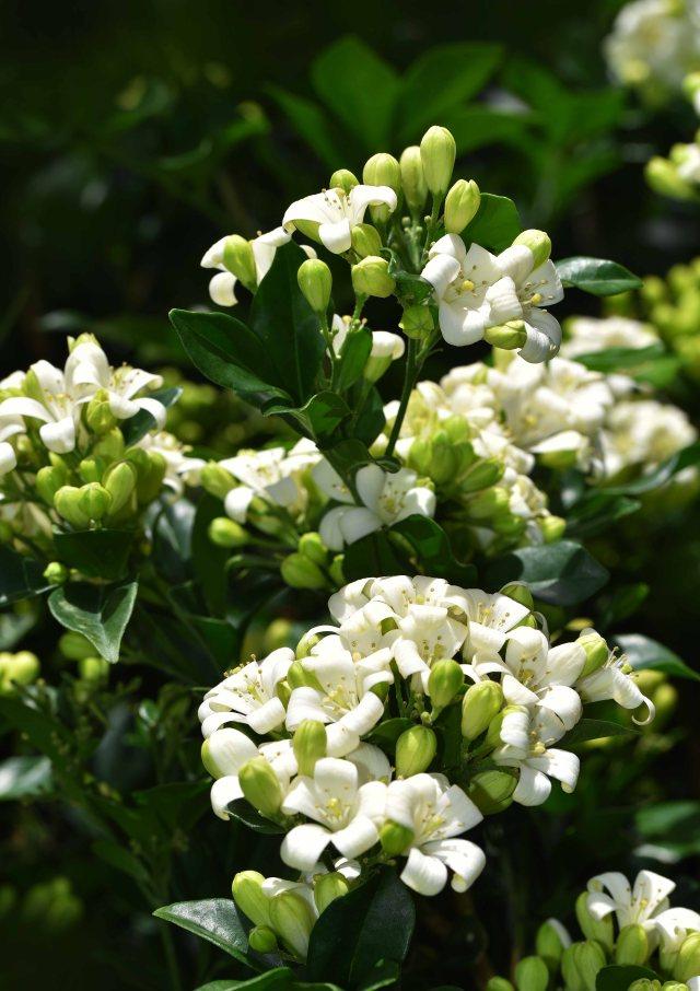 Murraya paniculata. Photo: David Clode.