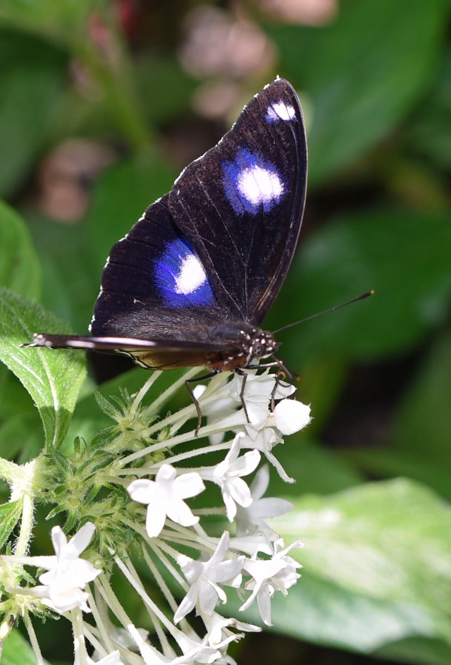 Male Common Eggfly Hypolimnas bolina. Photo: David Clode.