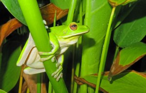 A White-lipped tree frog photographed next to a pond at night... looking for a mate. Photo: David Clode.