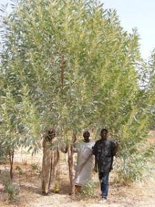 Acacia colei in Niger Africa. Photo: Aaron Thacher. Sahelpath.blogspot.com.
