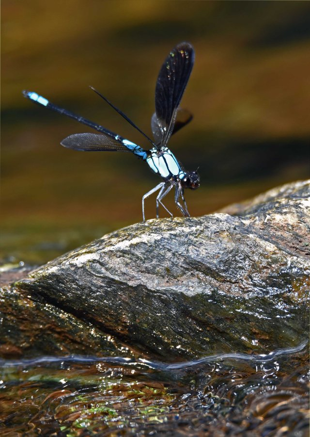 Tropical Rockmaster damselfly. Crystal Cascades. Photo: David Clode.