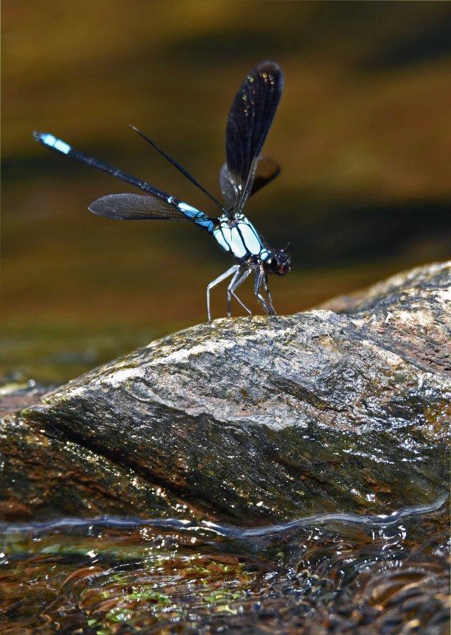 Tropical Rockmaster damselfly. Crystal Cascades. Photo: David Clode.