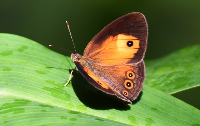 Orange Bushbrown Mycalesis terminus. Crystal Cascades. Photo: David Clode.