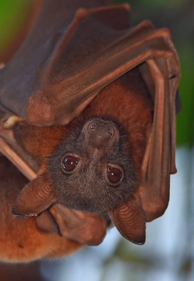 Little Red Flyingfox. Cairns. Photo: David Clode.