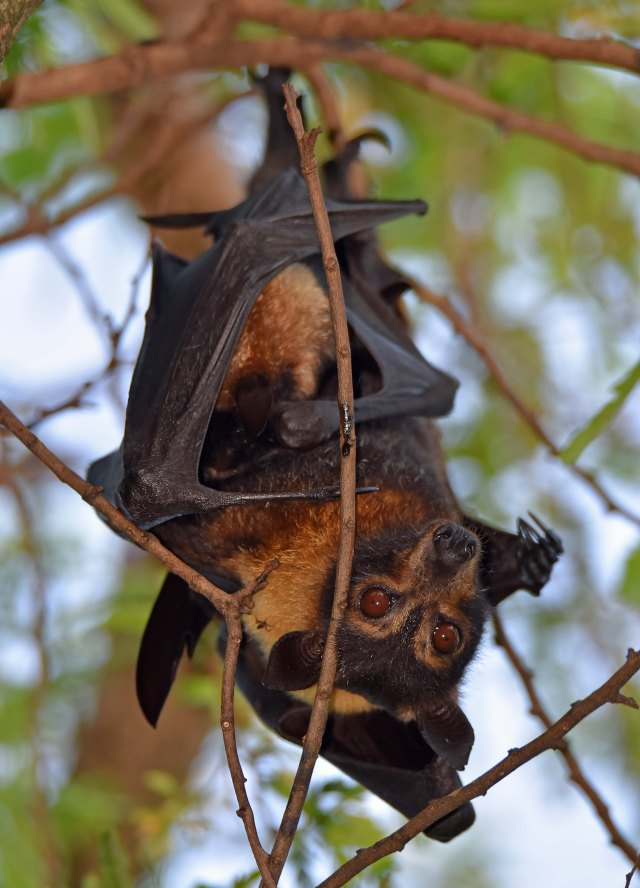 Spectacled Flying-fox or Fruit bat, with young. Cairns. Photo: David Clode.