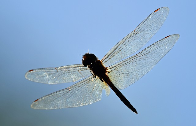 Flying dragonfly photographed from underneath. Photo: David Clode.