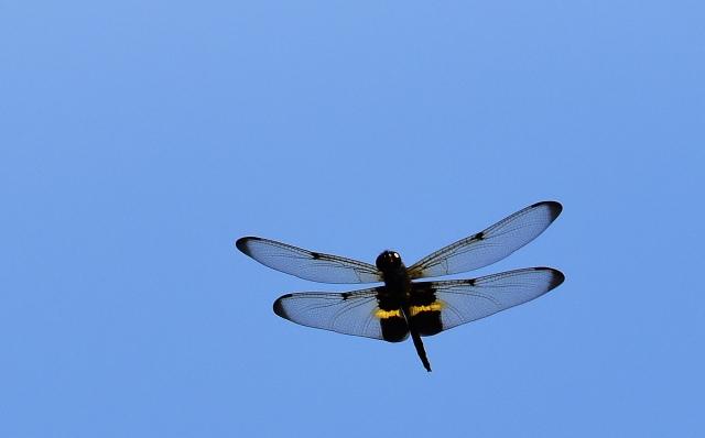 Rhyothemis phyllis in flight: David Clode.