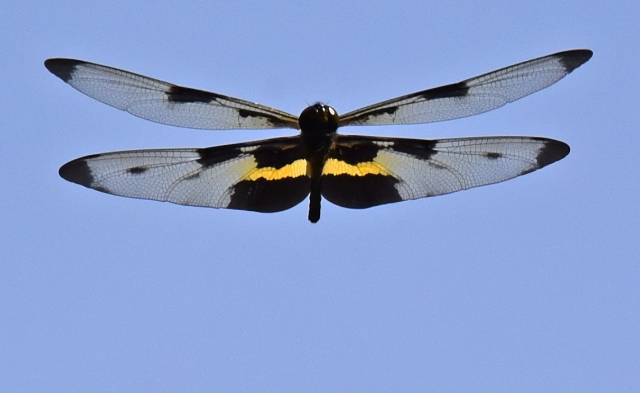 Flying Rhyothemis phyllis dragonfly. Photo: David Clode.