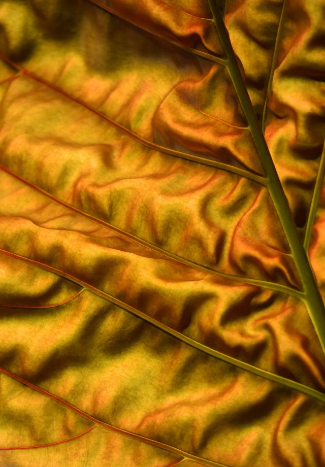 Backlit leaf. The colour is fairly accurate. Cairns Botanis gardens. Photo: David Clode.