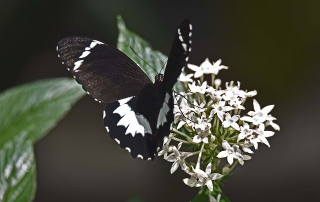Orchard Swallowtail. Photo: David Clode.