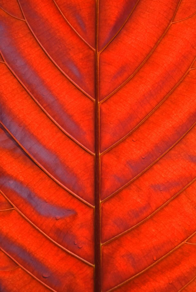 Backlit leaf. Colour is fairly accurate. Photo: David Clode.